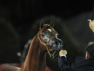 2016 Rolex Central Park Horse Show-U.S. Open Arabians