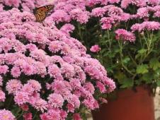 WEB Butterfly Mums COH_9604