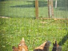 Chesterland Chickens