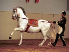 White Stallions On The Long Rein