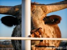 Wee Meet A Texas Longhorn