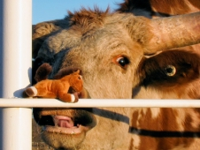 Wee Get Slimed By A Texas Longhorn
