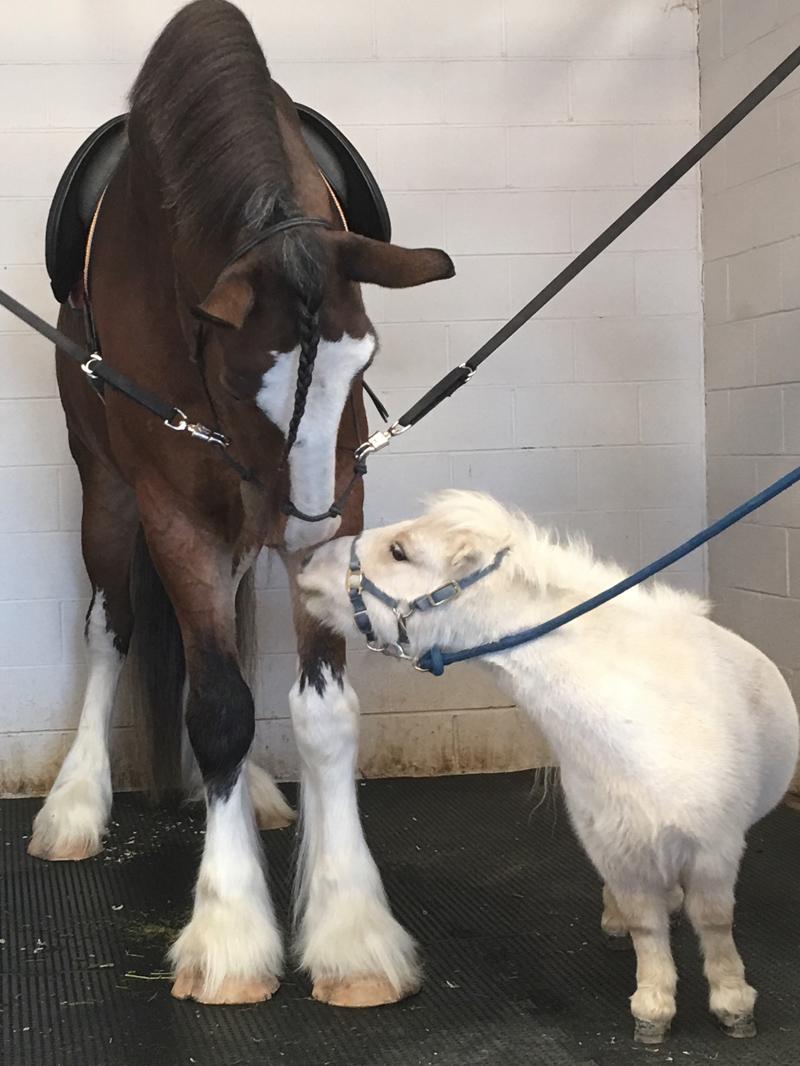 1Sir Teddy with Mini Horse