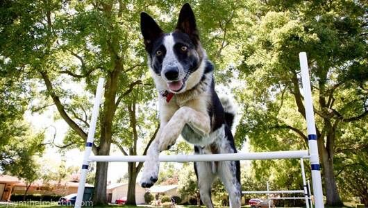 dog_agility_feat.jpg.560x0_q80_crop-smart